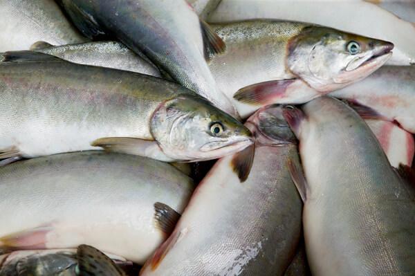 alaska-salmon-1 (1)