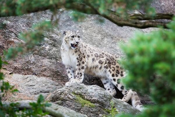 snow-leopard-full
