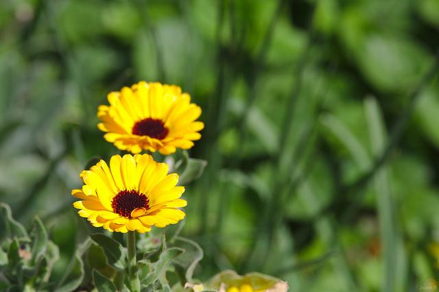 съедобные цветы календула
