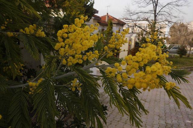 съедобные цветы акация