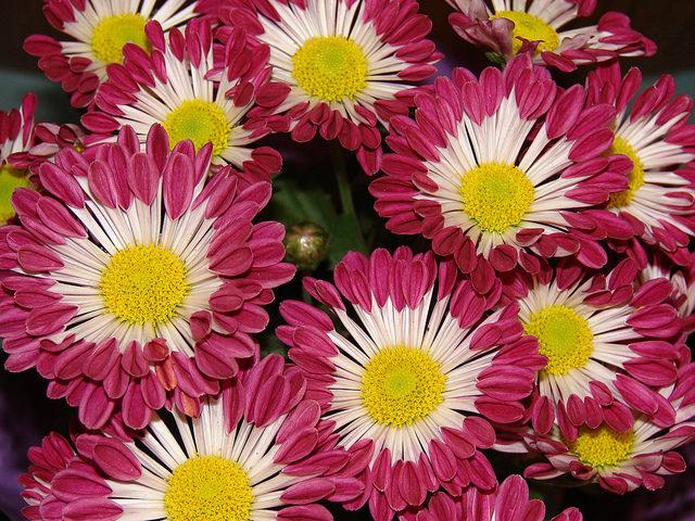 съедобные цветы хризантема