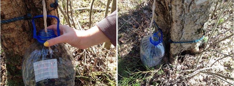 Березовый сок — как и когда собирать