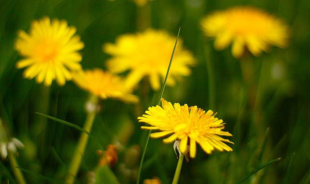 съедобные цветы одуванчик