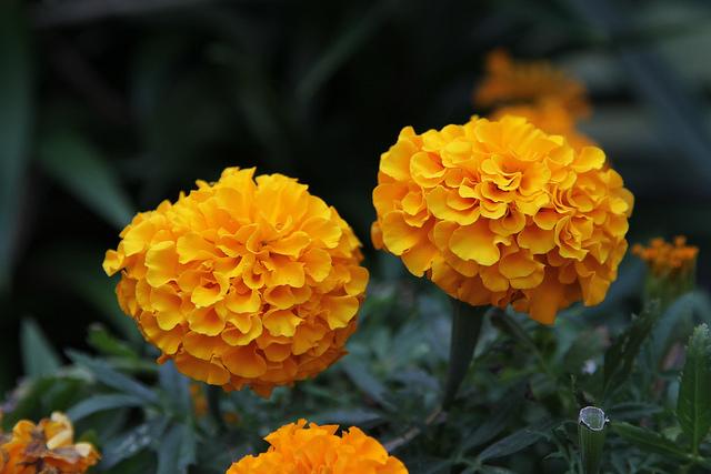 съедобные цветы бархатцы