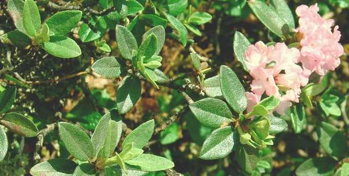 трава-саган-дайля