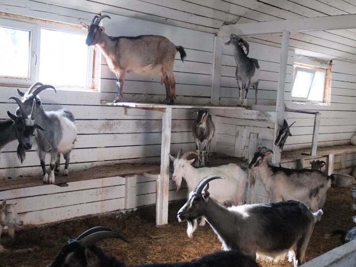 козы в коровнике
