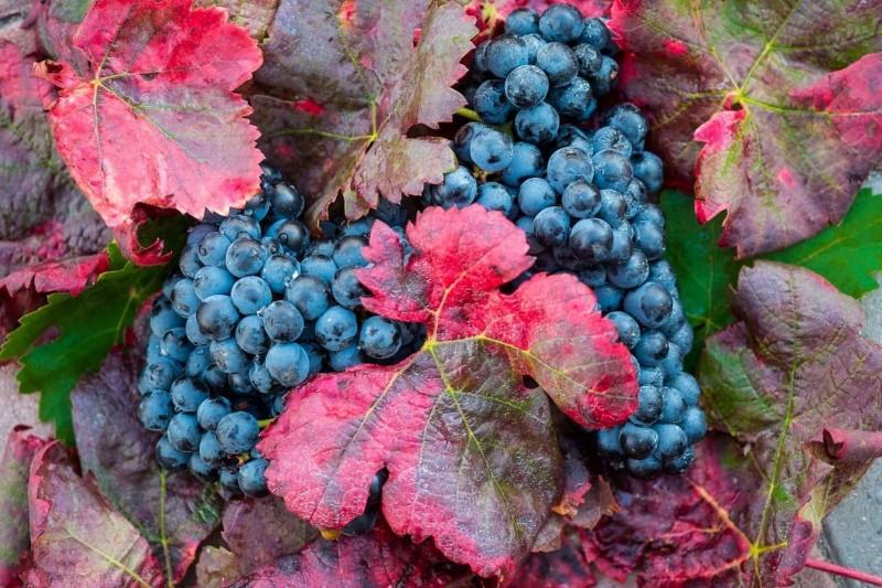 хозяйство Раевское виноград