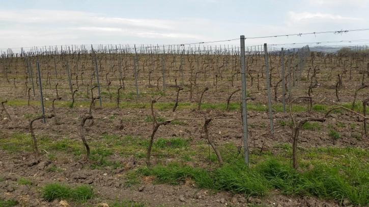 хозяйство Раевское Обрезанные виноградники