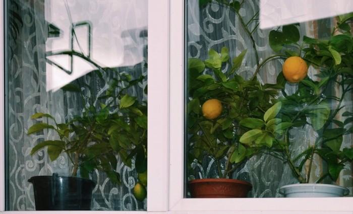 лимон на окне