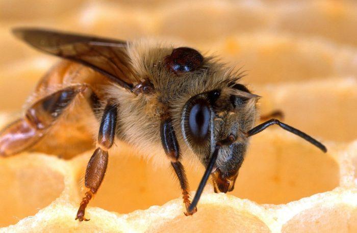 день пчел