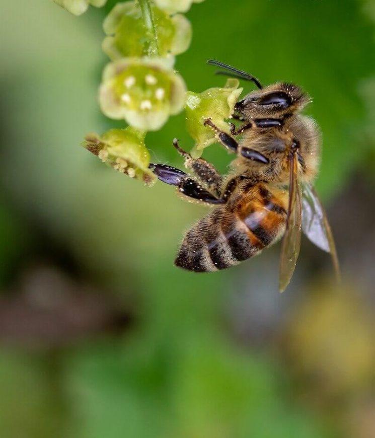 пчелы для опыления bee-Изображение Myriam Zilles с сайта Pixabay