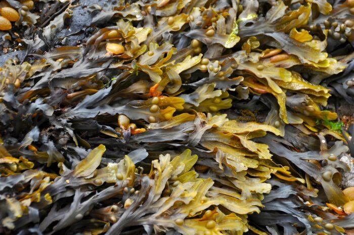 Фукус польза водорослей Изображение Ronile с сайта Pixabay