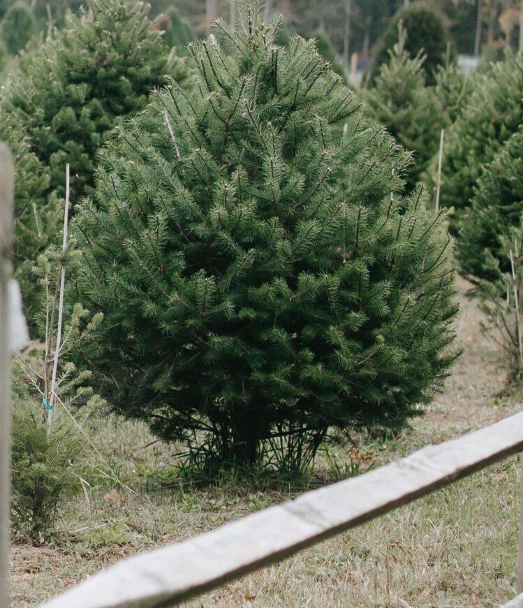как ухаживать за живой елкой pexels-any-lane
