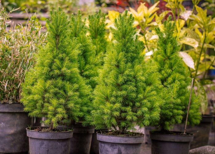 как ухаживать за живой елкой tree-nature-plant-flower-spring-green pxhere com