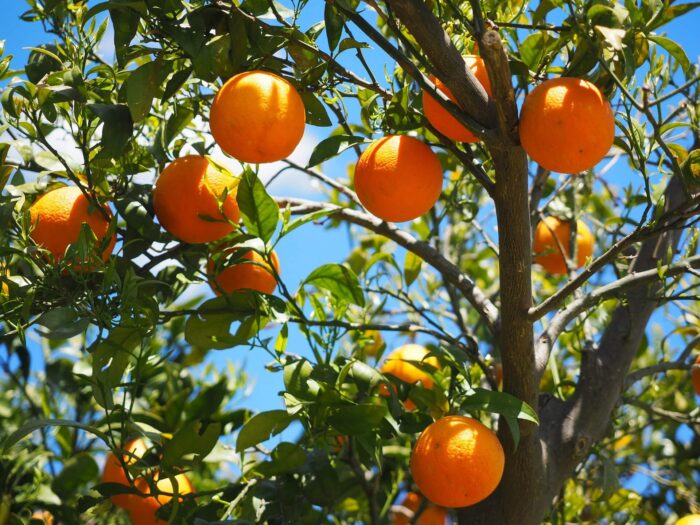 Апельсины Изображение Hans Braxmeier с сайта Pixabay