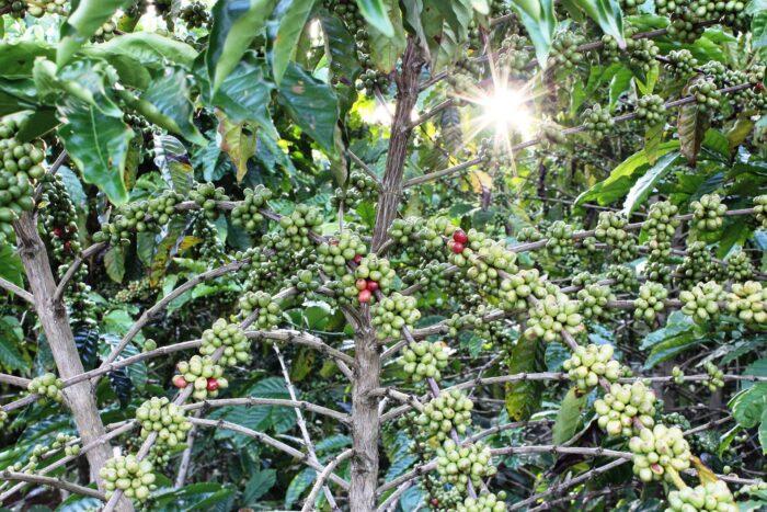 плантации кофе Изображение Mariana de Fátima Ciríaco Mari Mari с сайта Pixabay