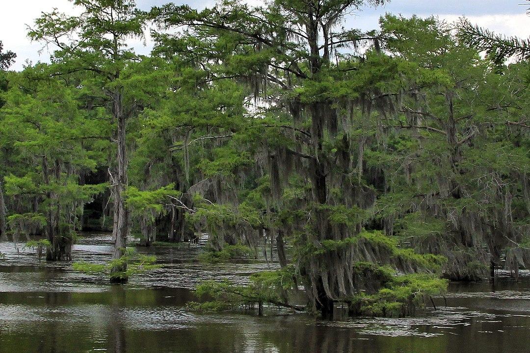 Каддо озеро 1080px-Caddo_lake_trees