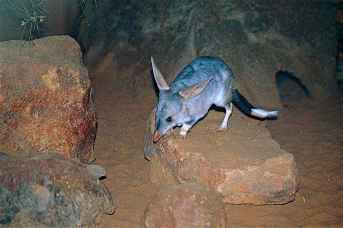 Австралийский билби