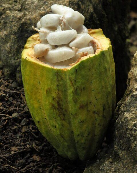 какао бобы история шоколада и какао Изображение H. Hach с сайта Pixabay