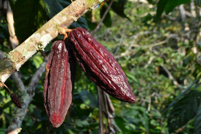 плоды какао элитные Изображение Daniel Cifuentes с сайта Pixabay