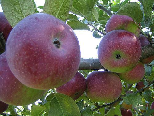 яблоки(2)