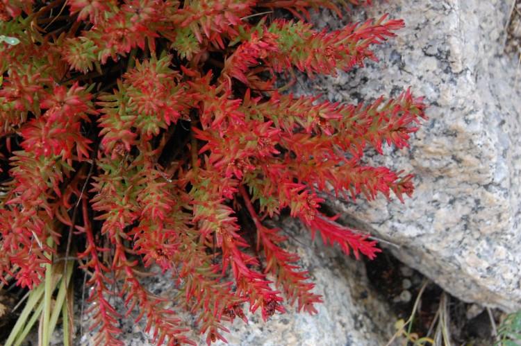 Красная щетка или Родиола четырехраздельная