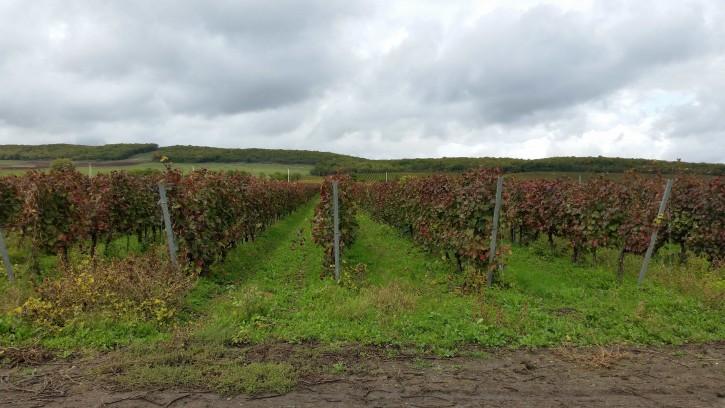 хозяйство Раевское виноградники