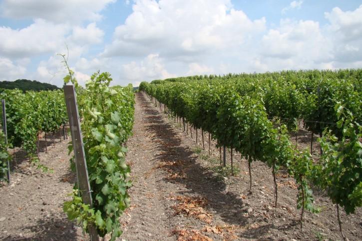 виноградники Раевское