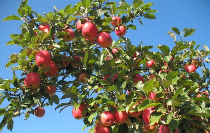 яблок много