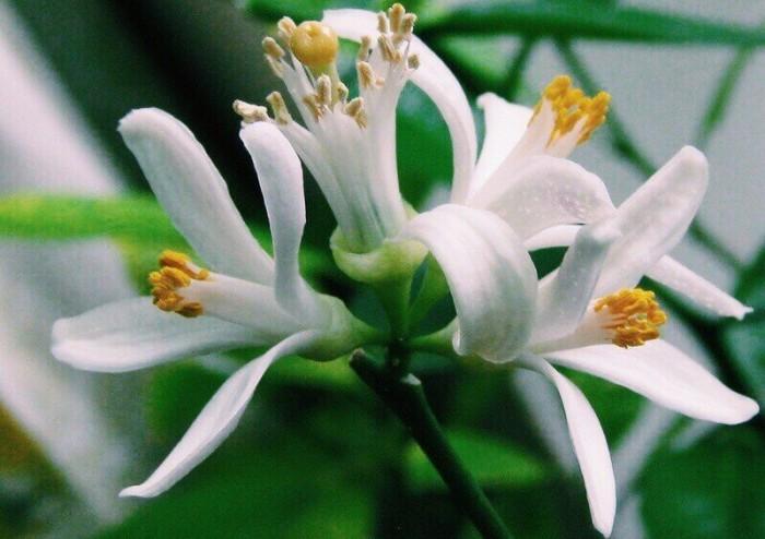 цветы павловского лимона
